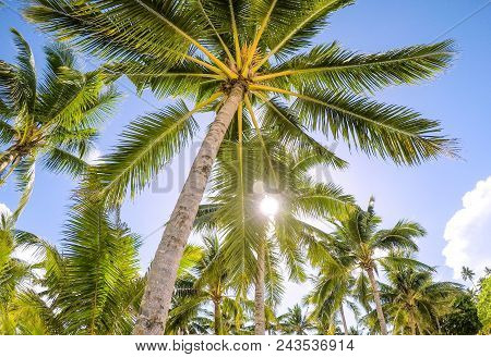 Looking Up Through Golden Sunshine Into A Palm Tree Plantation Against A Blue Sky With Bokeh. Tropic