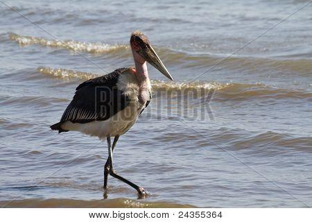 Marabou Stork At Lake Victoria