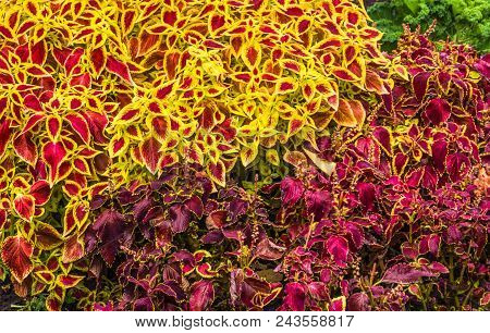 Flowers Are Carpeted In A Carpeted Garden. Purple And Pink Color. A Live Carpet Of Flowers.