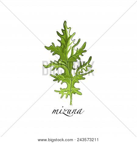 Mizuna Fresh Culinary Plant, Green Seasoning Cooking Herb For Soup, Salad, Meat And Other Dishes Han