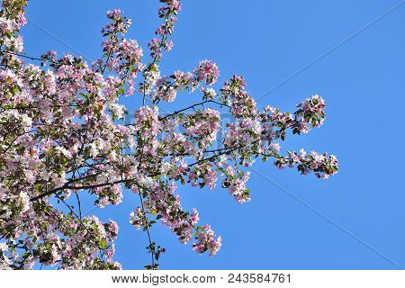 Spring Blossoming Apple Tree Branches With Gentle Pink Fragrant Flowers And Young Green Leaves On A