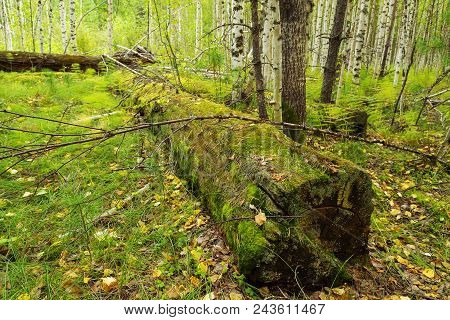 Old Timber With Moss In The Forest. Stump Green Moss Spruce Pine Coniferous Tree Forest Park Wood Ro