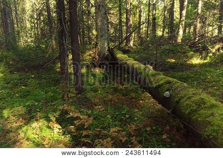Moss Growing On A Log Of Wood.fallen Moss Covered Tree Lies On Wild Geranium Covered Forest Floor.