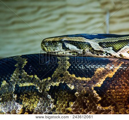 Big Snake Python Satiated Putting His Head On His Torso Close-up