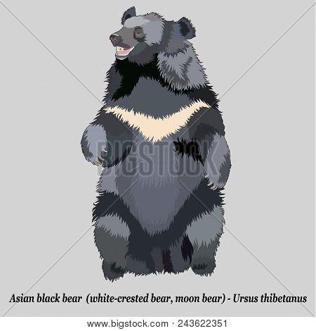 Realistic Asian Black Bear (moon Bear,  Himalayan Bear), Isolated, Full Size