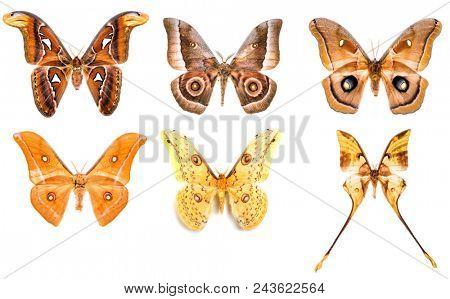 Set of six tropical saturniidae night moths - Attacus Atlas, Gonimbrasia zambesina, Antheraea polyphemus, Antheraea godmani, Loepa megacore and Actias maenas isolated on white