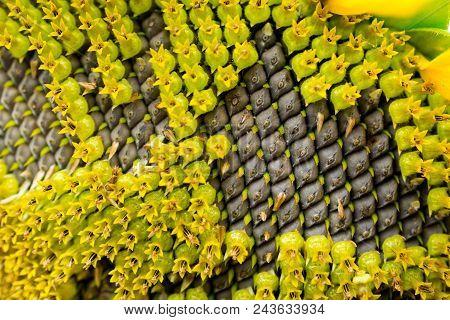 Close Up Of Blossom Sunflower, Pattern Of Sunflower's Seeds.