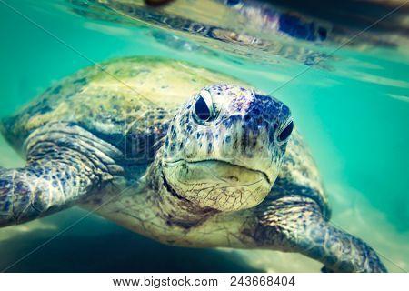 Sea turtle underwater at Hikkaduwa beach. Sri Lanka