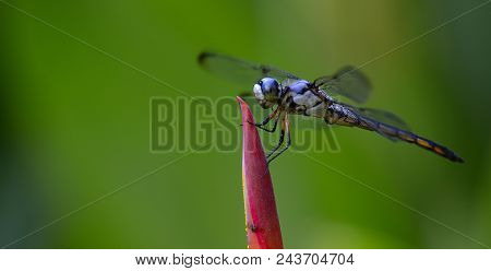 Oral Fixations: A Blue Dragon Fly Lands On The Bud Of A Cala Lily In A Florida Garden, San Mateo, Fl
