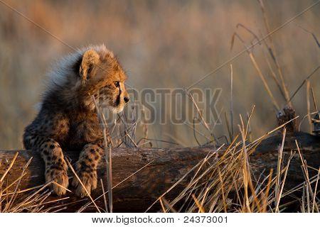 Baby Gepard