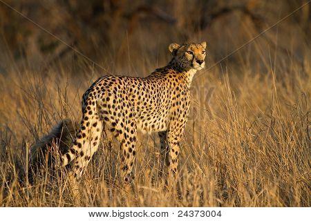 Gepard-Mutter