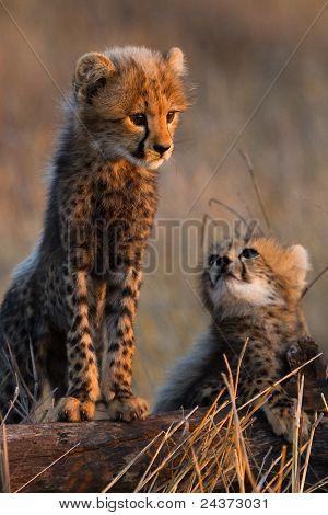 Gepard-Geschwister