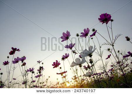 Soft Focus Of White And Pink Cosmos (cosmos Bipinnatus) Flowers Focus In The Garden  With Dawn Sky B