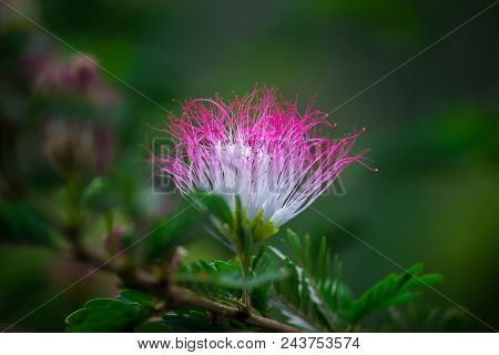 A Persian Silk Flower Blooming And Shining Brightly On The Plants With A Nice Soft Background