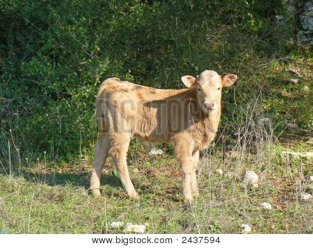 A Red Friendly Calf Out In Nature