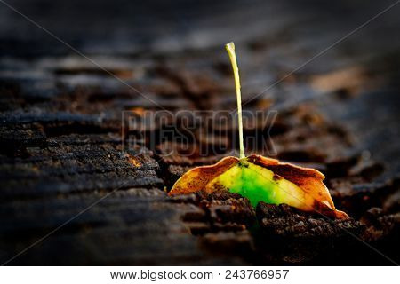 Fall autumn leaf on an old weathered wooden stump from a  tree