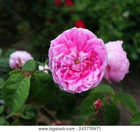 The Famous Pink Rosa Centifolia , Provence Rose Or Cabbage Rose Is A Hybrid Rose Developed By Dutch