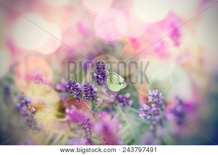 White Butterfly On Lavender Flower, Selective Focus On Butterfly - Beautiful Nature, Beauty In Natur