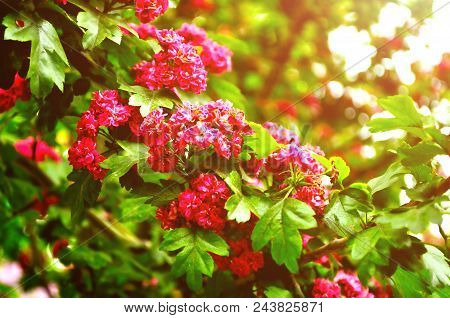 Summer Flower Landscape With Branch Of Summer Hawthorn Tree Pink Flowers, In Latin Crataegus. Closeu