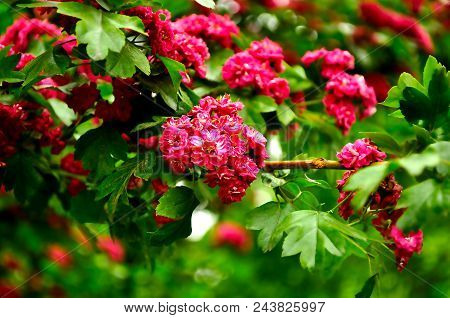 Summer Flower Landscape. Closeup Of Summer Hawthorn Tree Pink Flowers, In Latin Crataegus Laevigata.
