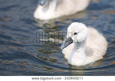 A Baby Swan, Erewash Canal, Long Eaton.