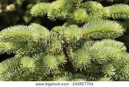 Sharp Needles On The Branches Of Blue Spruce. Russia