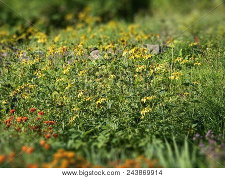 Meadow With Blooming Yellow Flowers. The Tilt-shift Effect