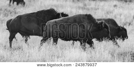 Running Bison In Black And White In Summer Field