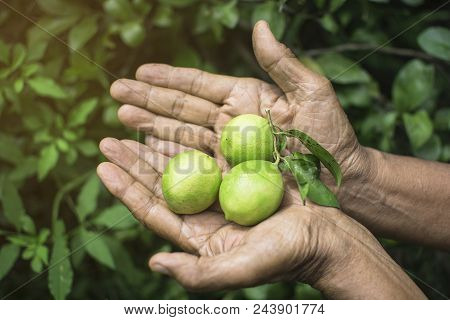 Thai Old Man Holding The Green Lemon By Two Hands With Green Lemon Tree Leaves Background, Farmer Co
