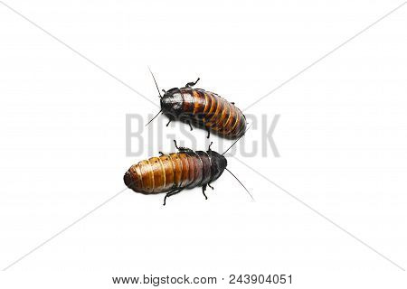 Madagascar hissing Cockroach. Madagascar hissing cockroach isolated on white. poster