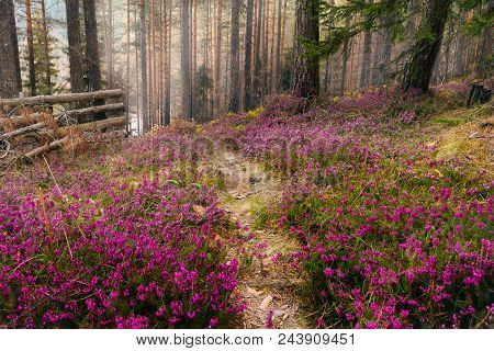 Purple Flowers Carpet In Pine Forest. Forest Nature In Early Spring. Purple Flowers Carpet. Pine For