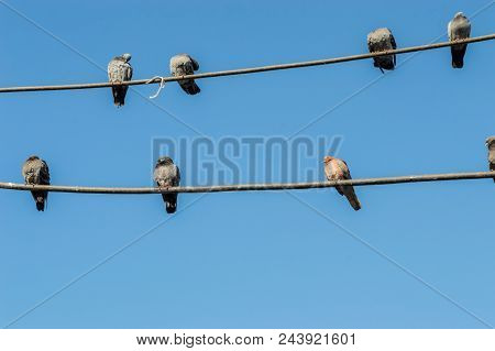 Group Of Pigeons Perching On Electric Wires With Blue Sky As Background