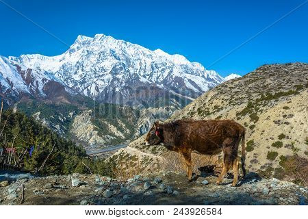 A Small Bull On The Edge Of The Cliff And Against The Snowy Mountains In The Himalayas, Nepal.