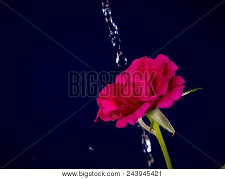 Rose Flower In The Rain,  Drops Of Water Shining