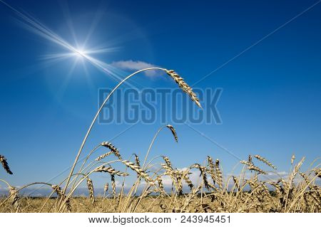 Wheat Ears Under The Blue Sky In Sunny Day