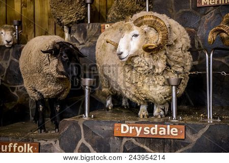sheep exhibition and sheep show in new zealand, merino and other breeds