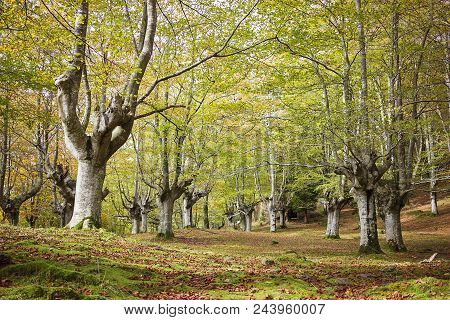 Ancient Beech Forest In Vizcaya Province, Basque Country