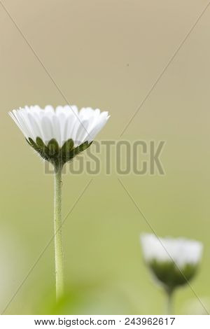 Bellis Perennis, Commonly Called Chiribita, Common Daisy, Pascueta Or Velvet. Vertical Shot With Nat