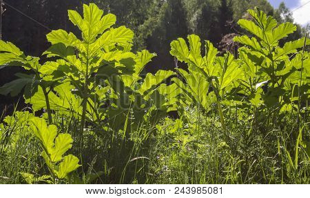 Hogweed Is A Dangerous Poisonous Plant. Sunny Day