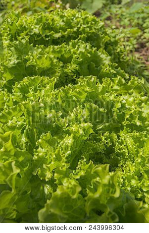 Winter Cress Blooms On The Field - The Herbaceous Plant Of The Brassicaceae Family Of Cabbage, Previ