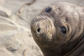 Close-up of the face of a baby California Seal poster