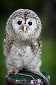 Close up of a baby Tawny Owl (Strix aluco) poster