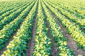 Genetically modified soybean in the field or GMO soybean, Glycine max poster