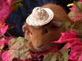 guinea pig all ready for autumn. poster
