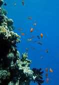 Red coral perch in the Red Sea natural environment poster