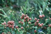 Japanese sugi pine ( Cryptomeria japonica ), or Japanese red-cedar cones in spring which is the major cause for hay fever in Japan causing sneezing, runny nose, nose congestion, eye irritation. poster