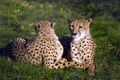 Coouple of cheetahs have a rest in green grass poster