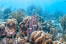 Coral Reef In Carbiiean Sea  Island Of Bonaire