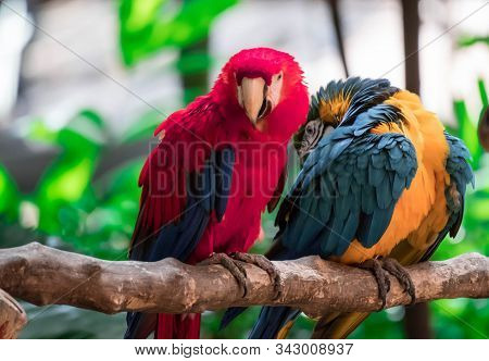 The Scarlet Macaw And Blue Macaw Called Blue Throated Macaw On Perch