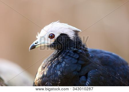 The Blue-throated Piping Guan (pipile Cumanensis), Portrait Of A Bird From The Family Cracidae.